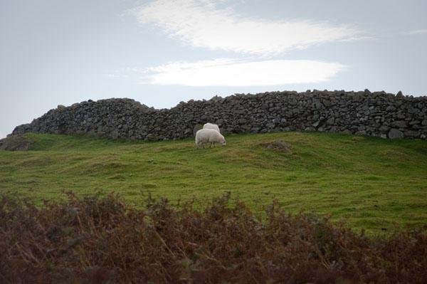 Les moutons du pays de galles