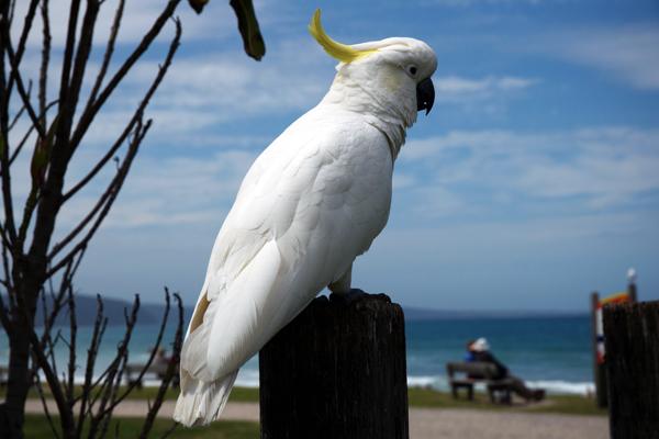 perroquet australie