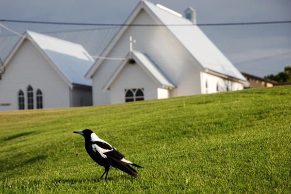 Magpie australie