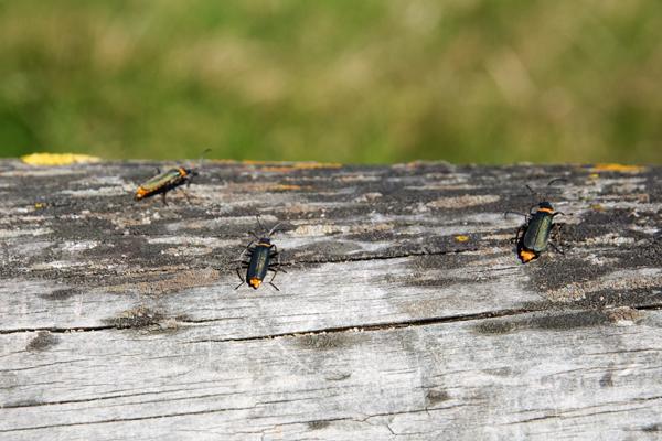 insectes australie