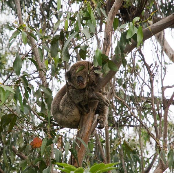 Stone koala melbourne