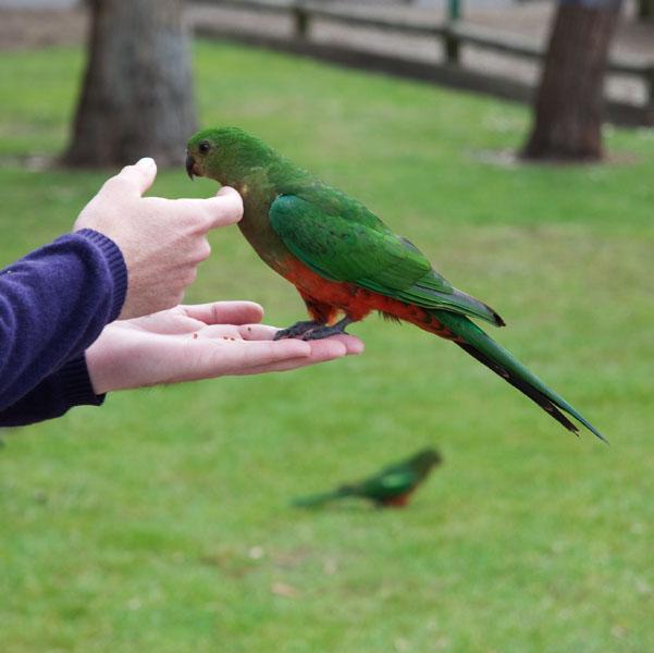 Donner à manger aux perroquets en australie