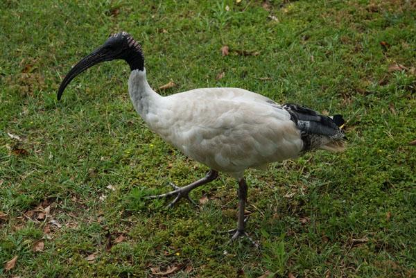 ibis oiseau australien