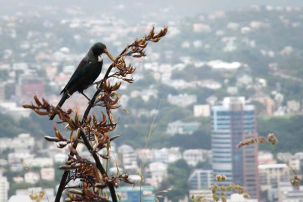 Chant de l'oiseau Tui nouvelle zélande
