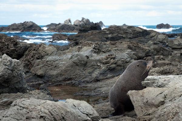 Colonie de phoques à kaikoura