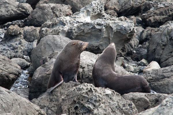 Phoques nouvelle Zélande