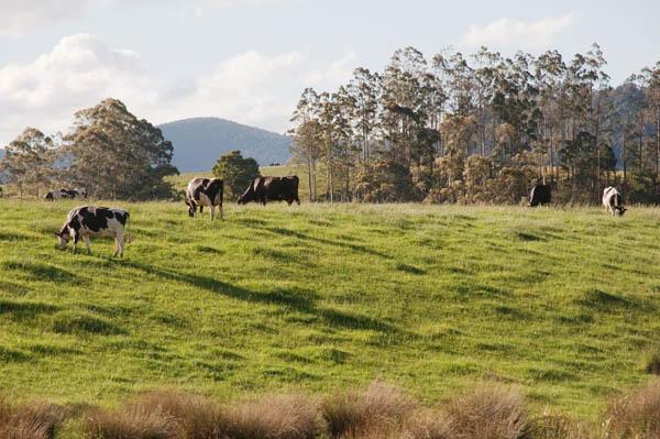 Ferme de vaches en Tasmanie