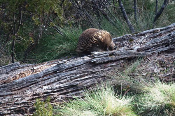 Echidna porcupine Australie