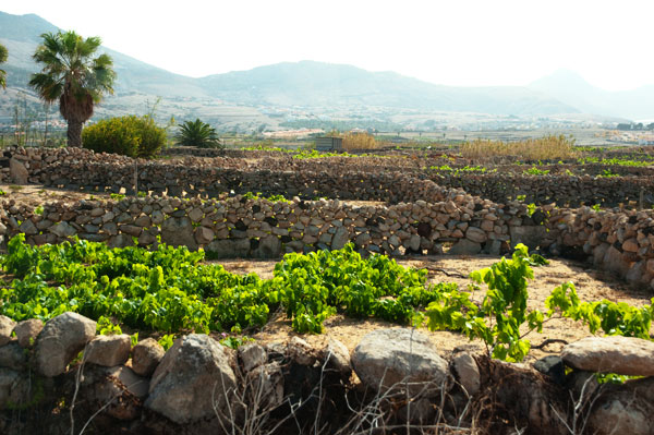 Vignoble unique de Porto Santo