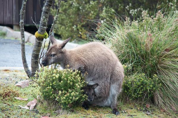 Walaby Australie et son bébé dans la poche