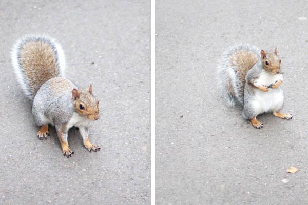 Les écureuils à Londres