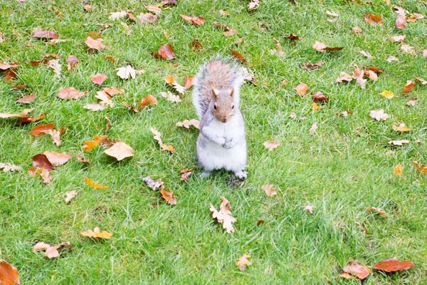 Des écureuils à Holland Park Londres