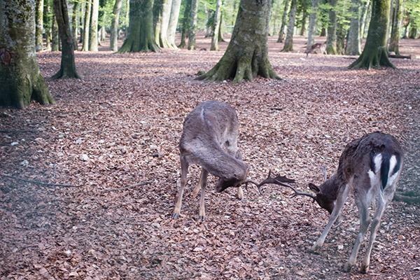 Combat de 2 jeunes cerfs dans la Foresta Umbra